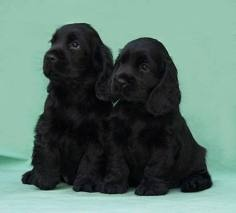 We had two adorable black Cocker Spaniel named Judy & Rex