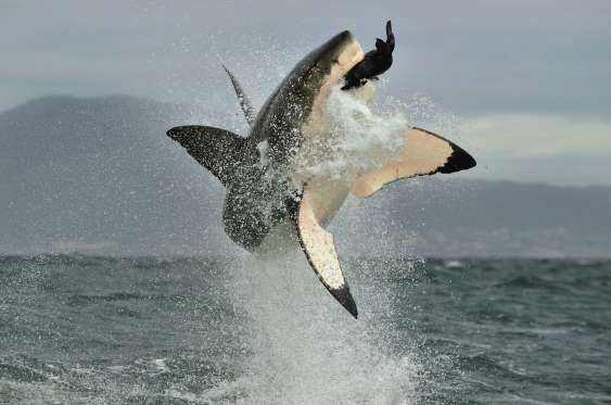 Spotting Great White Shark - USO/Getty Images