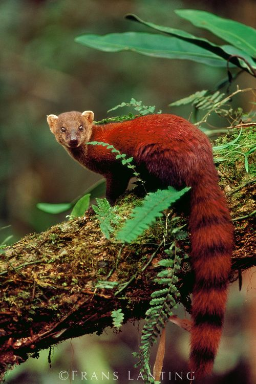 **Ring-tailed mongoose, Galidia elegans, Ranomafana National Park, Madagascar