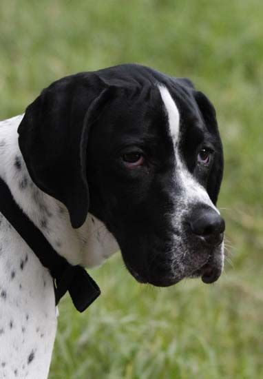 Black English Pointer Puppy 17 Best images ...