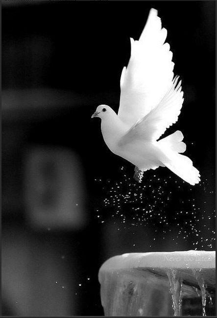 pomba, branco, preto, voo
