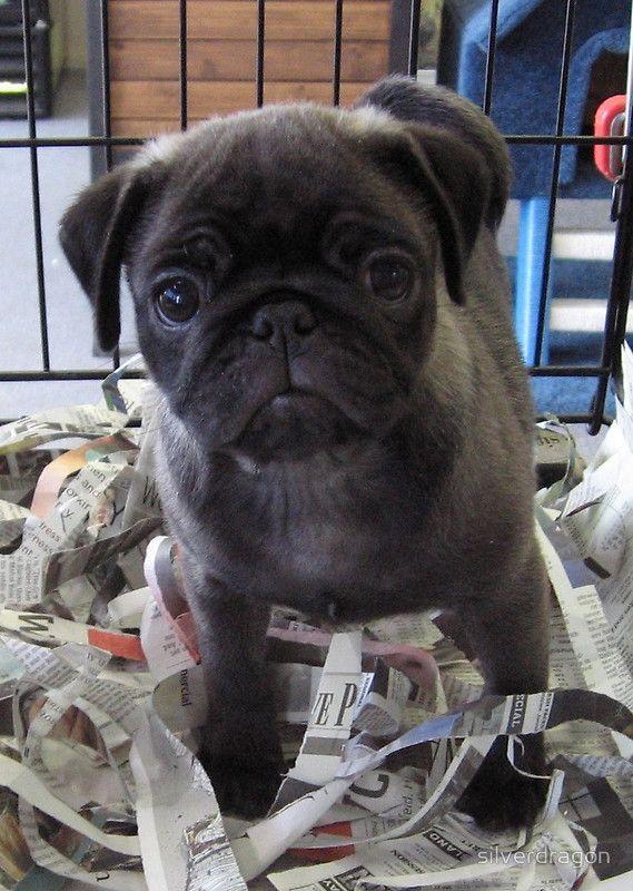 Best 25 Cute Pug Puppies Ideas On Pinterest Pug Puppies