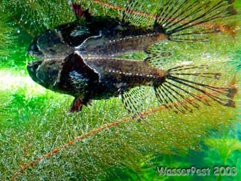 42 best images about aquariums such on pinterest half for Freshwater butterfly fish