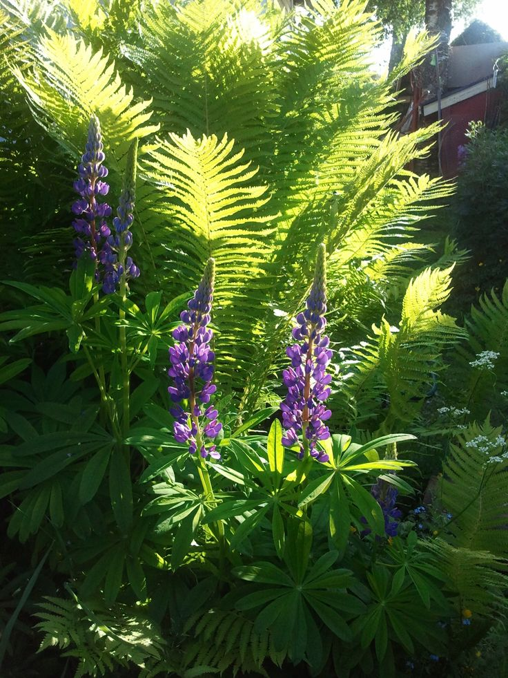 Lupines and fern