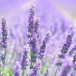 Lavender – for immunity, nervous and digestive disorders – #digestive #disorders…