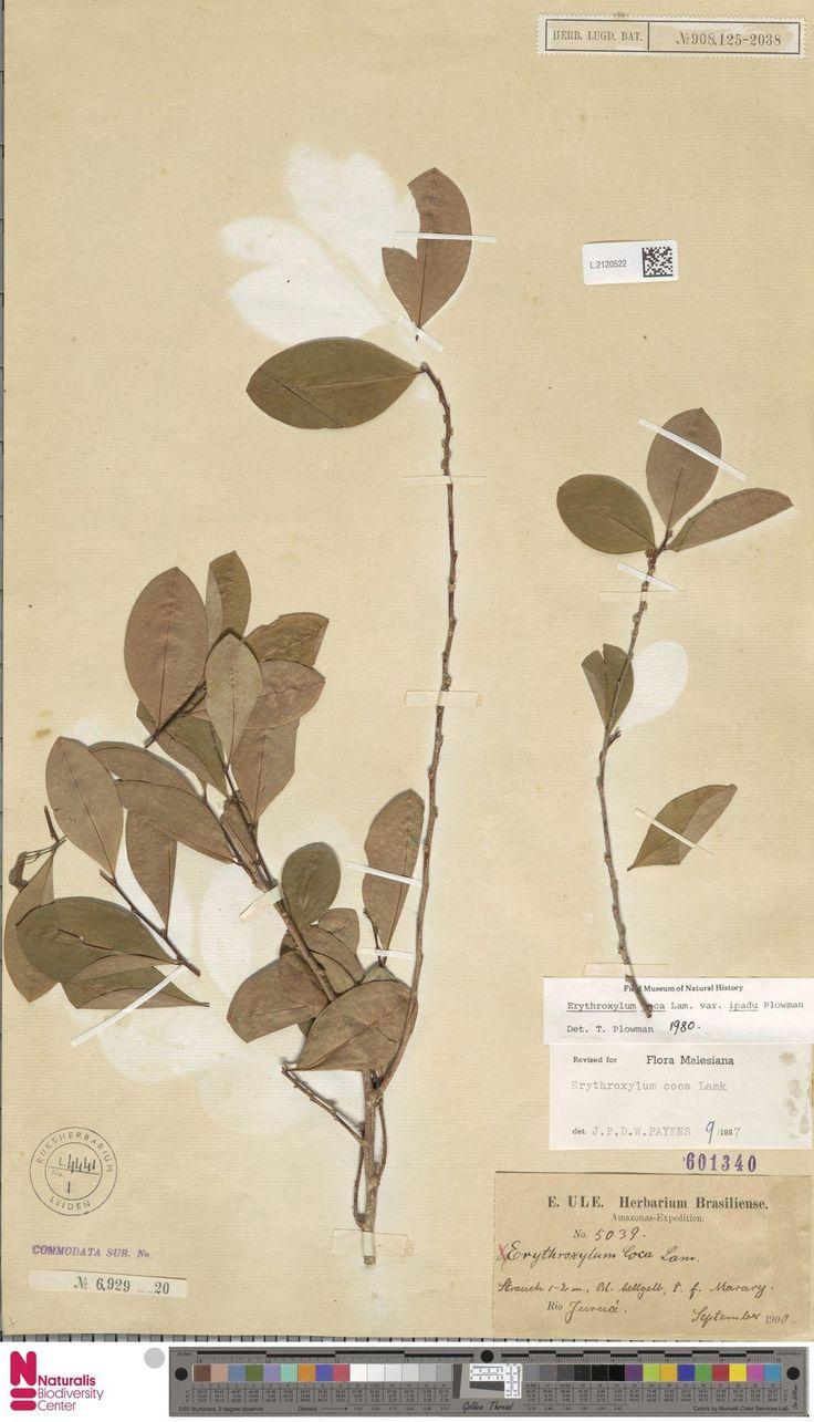 L.2120522 | Erythroxylum coca Lam. var. ipadu Plowman