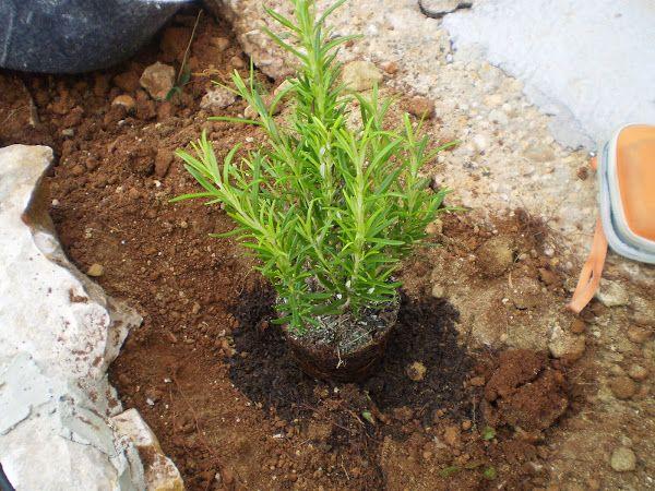 Detalles de cultivo de las arom ticas m s apreciadas for Cultivo de plantas aromaticas y especias