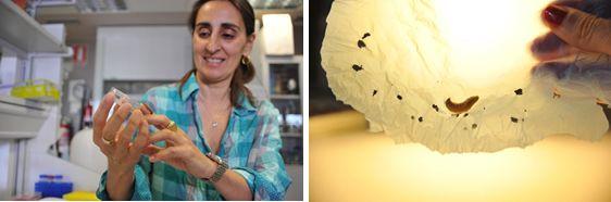 Los gusanos de cera son el gran enemigo de las colmenas: destruyen sus panales y se comen la miel pero su voracidad podría ser útil, ya que, estos insectos son capaces de degradar plástic ...