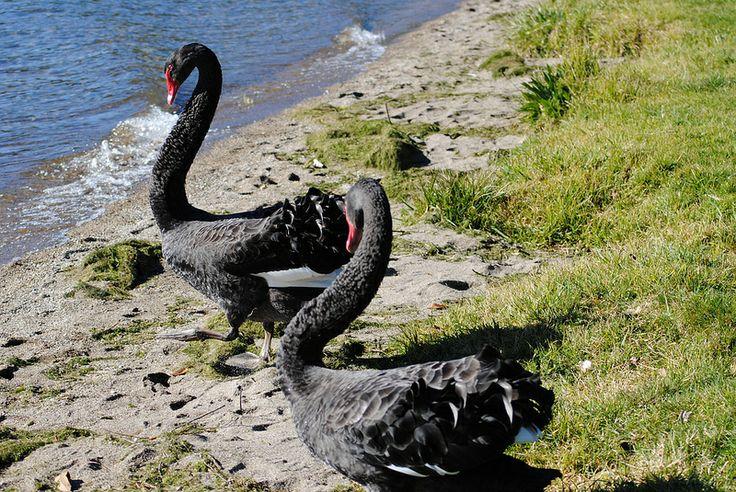 Swan Lake, Rotorua New Zealand