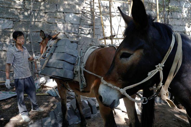 """<p>Trabajador descargando ladrillos de las mulas en el tramo Jiankou de la Gran Muralla, situado en el distrito Huairou, al norte de Pekín, China, el 7 de junio de 2017. """"El camino es demasiado empinado y las montañas son demasiado altas, por lo que solo se pueden transportar los ladrillos con mulas"""", dijo el dueño de una mula Cao Xinhua (Foto: Damir Sagolj / <em>Reuters</em>). </p>"""