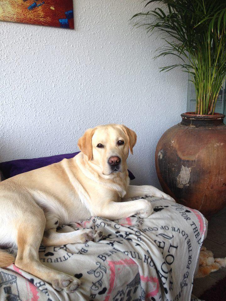 Golden Retrievers Labradors Labrador Labs Red Golden