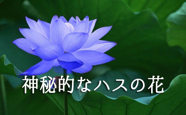 神秘的なハスの花 ハスの花 蓮の花 ハス