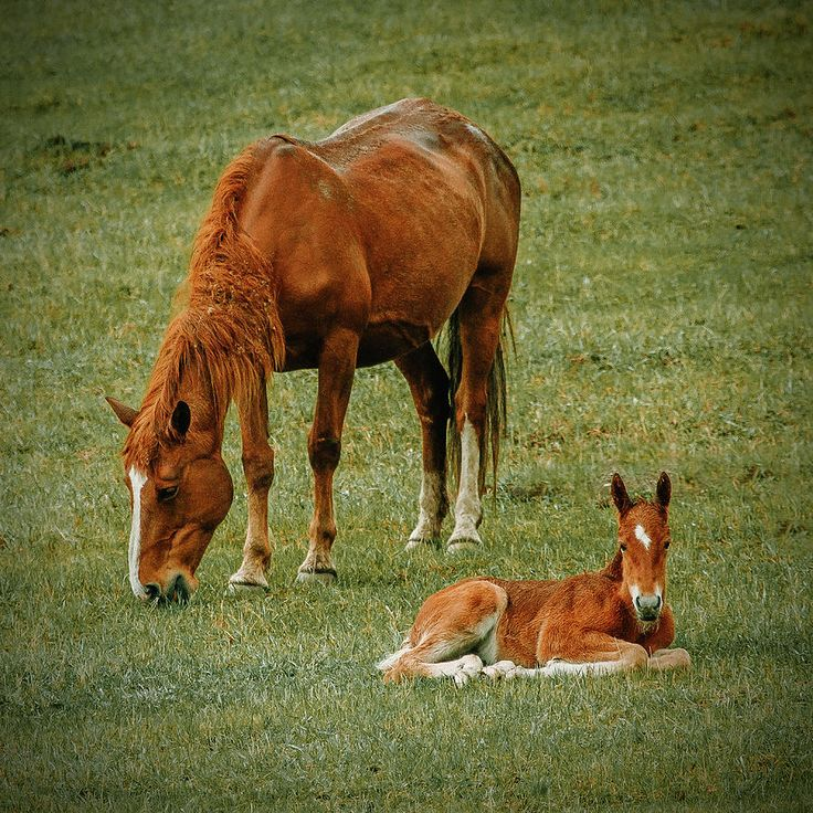 Horse And Foal on Altai Photograph by Oksana Ariskina on @pixels and @fineartamerica A mother horse eating grass with near relaxing foal. Russia, Altai  #OksanaAriskina Available as poster, greeting card, phone case, throw pillow, framed fine art print, metal, acrylic or canvas print with my fine art photography online: www.oksana-ariskina.pixels.com