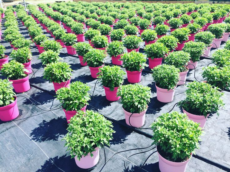 #Chrysanthemum production at our Norval Farm #greenhouse
