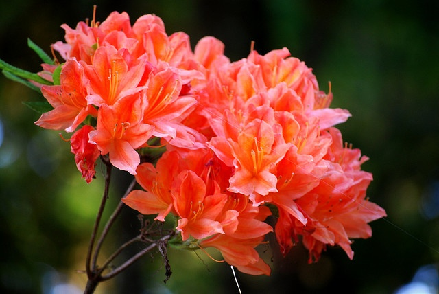 i fell in love with orange rhodendrons in europe