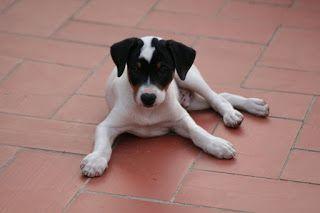 ¿Os gustan los perros?. Aquí tenemos a un ratonero bodeguero andaluz. ¡Una preciosidad! Labores y demás: Un perro en casa….. toda una aventura !!!!
