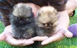 Baby Pomeranians - Bing Images