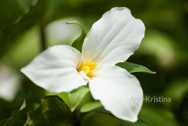 Ann-Kristina Al-Zalimi, Trillium grandiflorum, kolmilehti, flora, plant, flower, garden