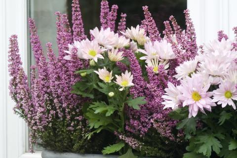 Chrysanten zijn een najaarstopper in je bloembak