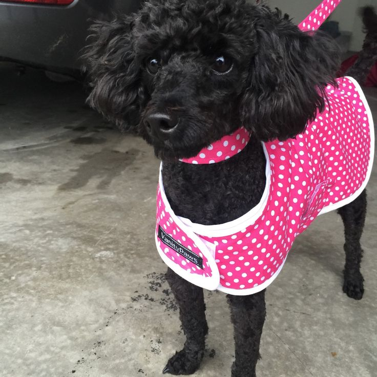TORI the Toy Poodle wears a Pink with White Spots Jacket, matching collar and lead set. (Puppy Pack) the pink colour looks fantastic on her.