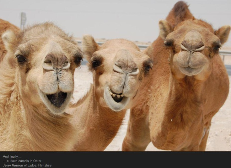 HELP STOP AERIAL SHOOTING OF CAMELS!  Up to 50,000 unwanted feral camels in Australia are targeted to be gunned down! Ariel hunting often leads to cruel, slow, agonizing deaths as animals are only wounded or maimed  young animals die of starvation  dehydration. PLZ Sign  Share by May 30th!!!!