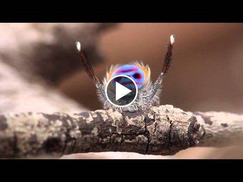 Peacock Spider Dances
