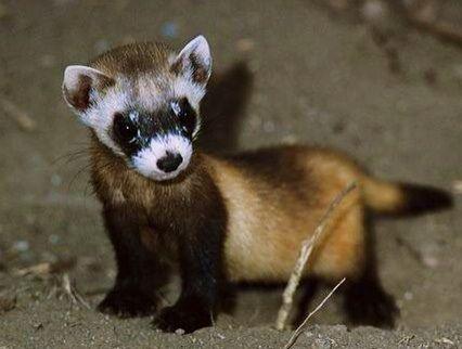 baby ferret weaselly weasels ferret black footed