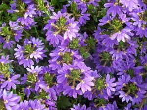 FAN FLOWER SCAEVOLA  CAN GET PLANTS HERE http://www.burpee.com/flowers/scaevola/