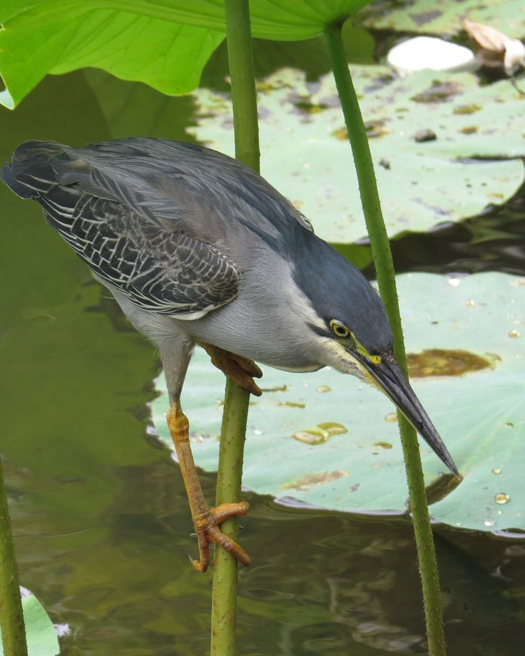 Striated Heron- Mauritius Botanical Gardens
