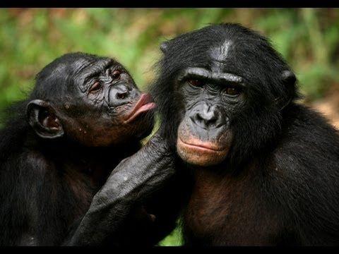 Bonobo Chimpanzees: More human-like than you think