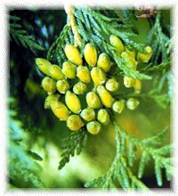 Thuja may also be used in hot compresses and steam baths to ease rheumatism, arthritis, and achy muscles. Thuja essential oil has an even greater concentration of thujone and must be used carefully.