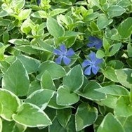 Variegated Periwinkle Ground Cover http://www.tytyga.com/Variegated-Periwinkle-p/variegated-periwinkle.htm
