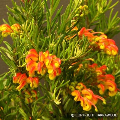 "Grevillea ""Little Sparkler"" - 50cm x 80cm. Prefers full sun and well-drained soil. Great hedged as a border or planted in drifts."