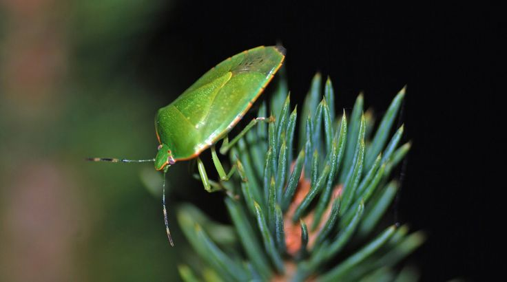 MObugs: Green Stink Bug