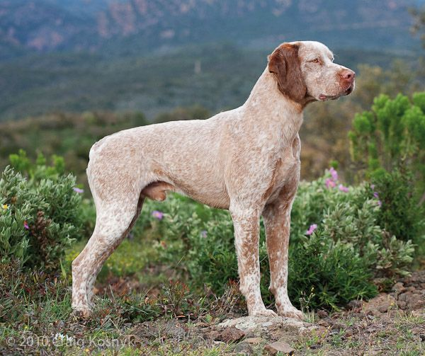 Pointing Dog Blog: Breed of the Week: The Braque du Bourbonnais