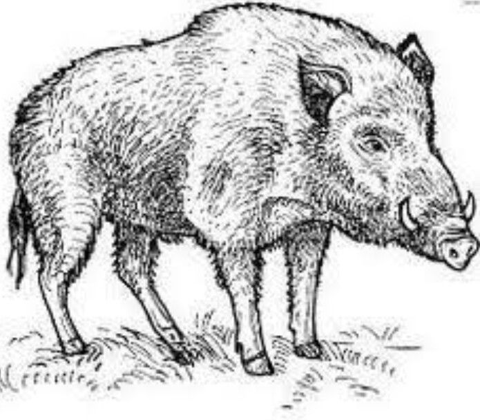 Pin By Mohadase On Hog Hunting Art Animal Drawings Animal Coloring Pages
