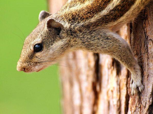 anti-eekhoorns en anti-stinkdieren: baby poeder
