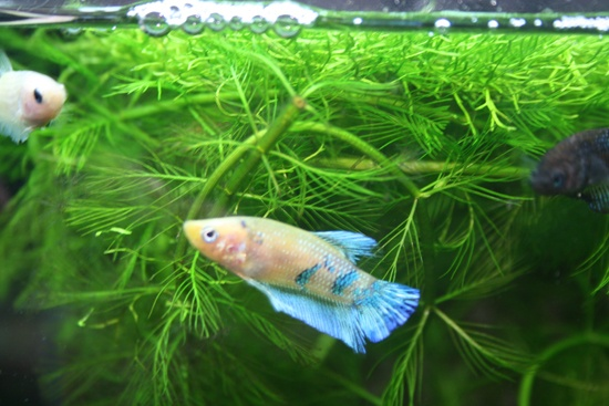 1000 images about beautiful betta fish and their homes on for Cute betta fish