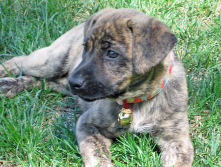Tiger Lilly the Boxer / Mastiff Mix