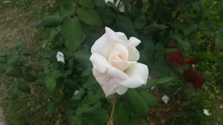 White Roses ~ Rose Fans - Red Roses, White Roses, Pink Roses, Black Roses
