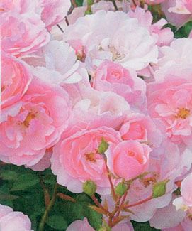42 Best Images About Roses On Pinterest Gardens