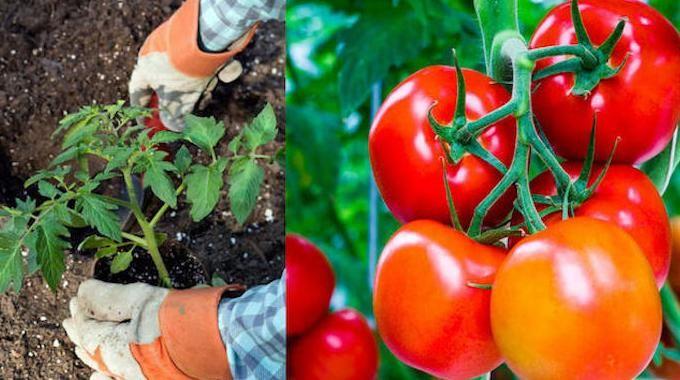 Vous voulez cultiver de belles tomates avec un goût exceptionnel ?Et surtout réussir à en faire pousser le plus possible ? Vous avez bien raison !Car les tomates que l'on cultive s