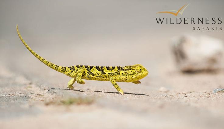 Ongava Tented Camp - great guiding creates the ultimate safari experience. #Safari #Africa #Namibia #WildernessSafaris