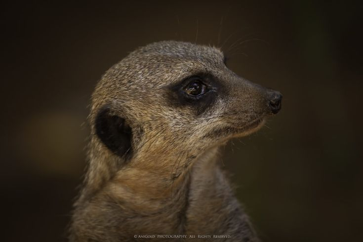 """Anticipation"" by AniGold, meerkat, nature, wildlife, photography"