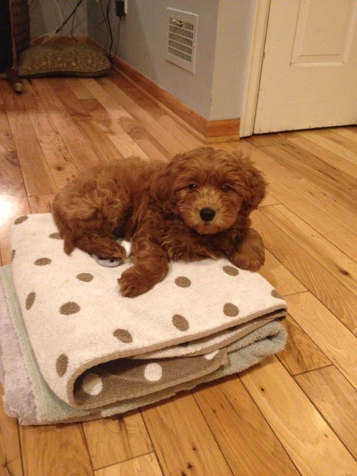 Cutest pup ever! Petite Goldendoodle