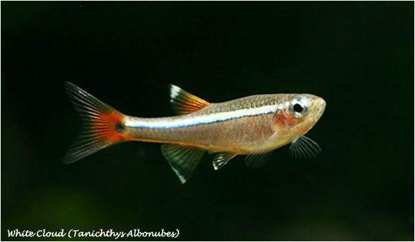 Fish Aquarium Com Fish Fish Pet White Cloud