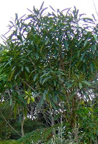 pseudopanax crassifolius (lancewood)