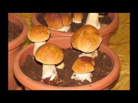 Porcini growth movie - YouTube