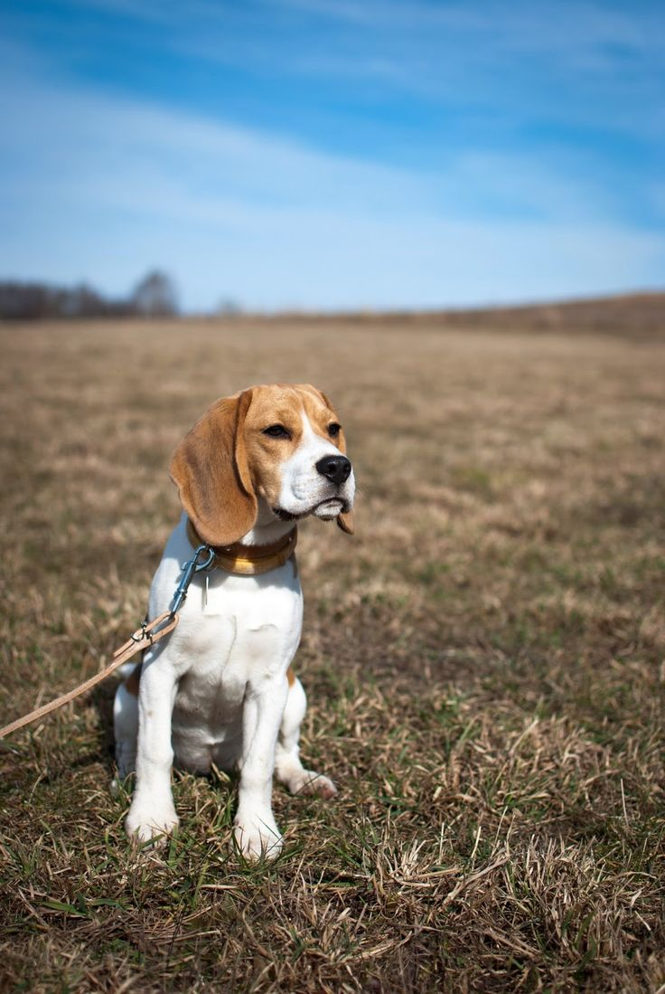 beagle, hunting dog