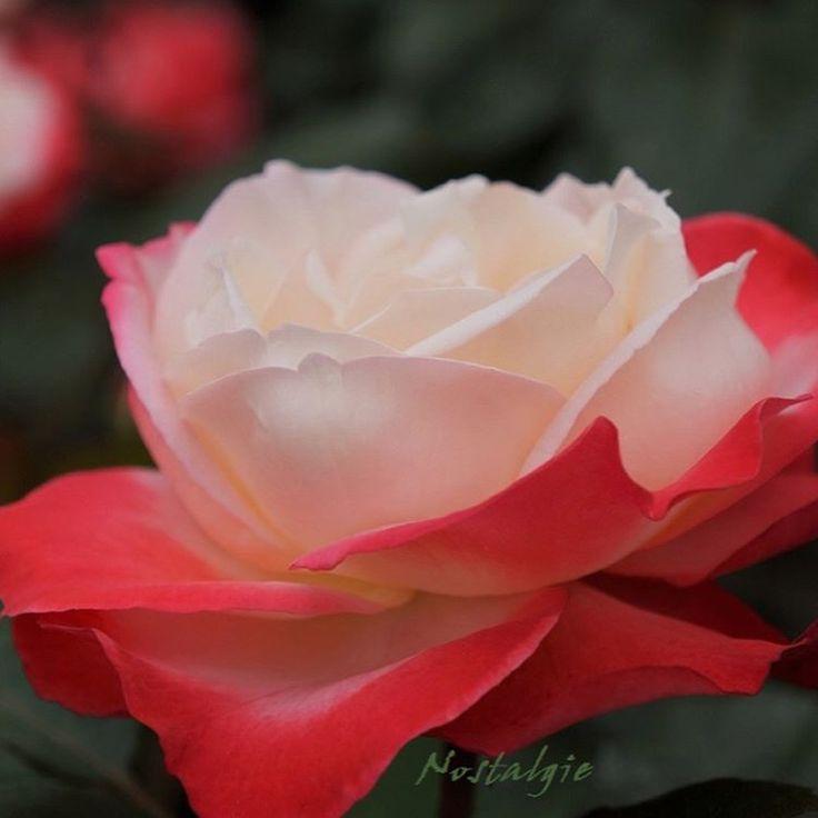�� おはようございます ☕️ 2017 . 5 . 26 ��  walking へ ��♀️������ ・ �� 良い週末をお過ごし下さいね ・ ・ ������ ノスタルジー<Nostalgie> ������ ・ ・ ・ ☘️花言葉☘️ ①  白い薔薇が 「 心からの尊敬 」「 純潔 」 ②  赤い薔薇が 「 情熱 」「模範 」  純潔と情熱の 双方を持つこの花は..どんな花言葉になるのかな? ・ ・ #ノスタルジー #Nostalgie #薔薇 #花部 #花部門エントリー #はなまっぷ #はなまっぷ2017 #flowers #flowerslovers #flowerslover #flowerpic #floweroftheday #flowerstyles_gf #fm_flowers_ #flowerphotography #ip_blossoms #flower_special_ #kings_flora #ファインダー越しの私の世界…